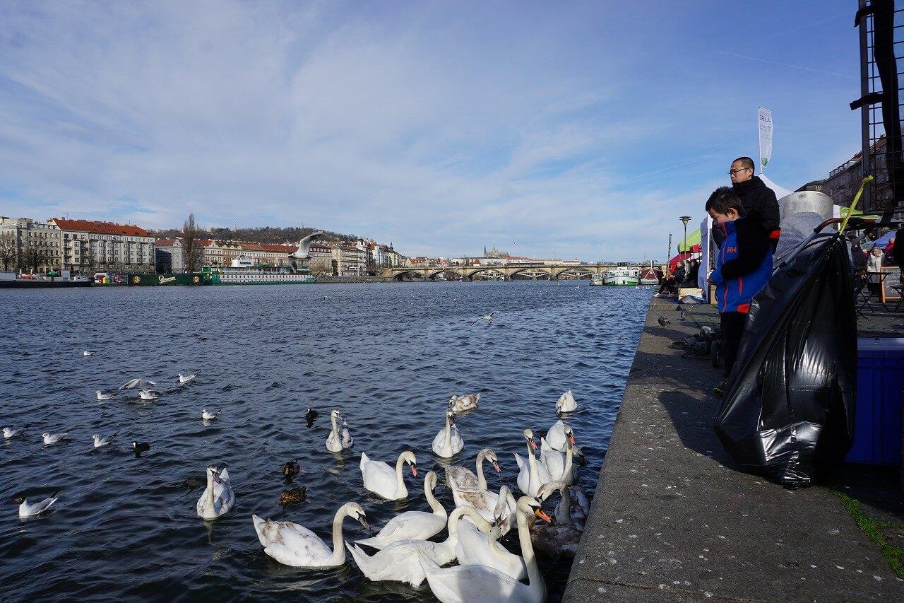 プラハ城とブルタバ川にいる白鳥